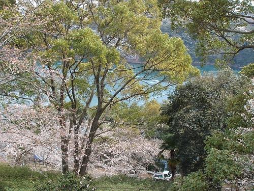 西海橋の桜