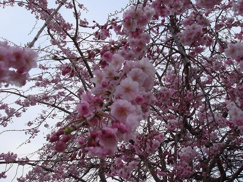 四本堂公園の桜
